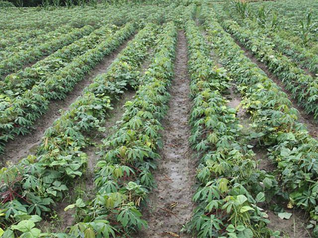 木薯吃了可能會中毒至死。為什麼人們還會冒險去吃? - 每日頭條