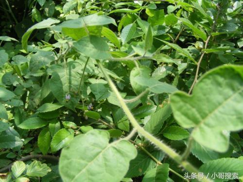 農村路邊常見的野草。竟然是解毒消腫的民間草藥。你見過嗎? - 每日頭條