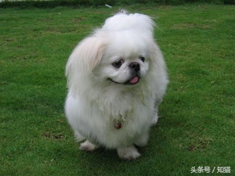 哪些品種的狗狗是中國狗? - 每日頭條
