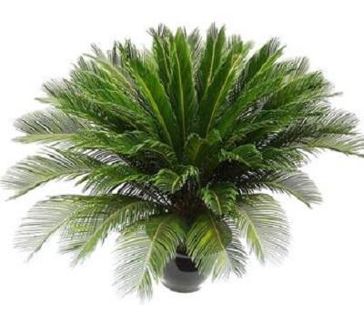 花卉:盆栽鐵樹怎麼種植才好? - 每日頭條
