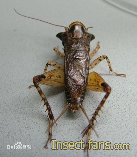 蛐蛐,蟈蟈,螞蚱,蚱蜢,蝗蟲到底怎麼區別? - 每日頭條