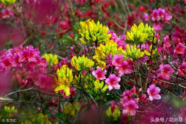 養花方法簡單的才是最好的。這樣養杜鵑花開花多而且又大又好看 - 每日頭條