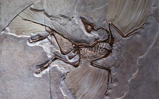 始祖鳥如何飛行?它真的是鳥類的祖先嗎? - 每日頭條