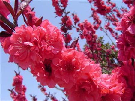 河州牡丹—碧桃的種類大全 - 每日頭條