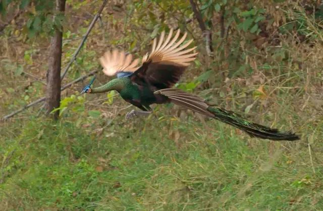 只知道孔雀開屏很美。卻不知道孔雀飛起來才是真正的神鳥風範 - 每日頭條