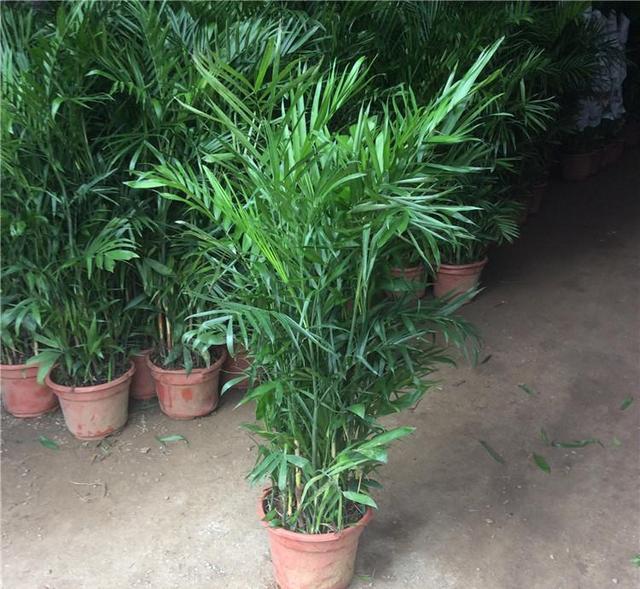 鳳尾竹、散尾葵、富貴椰子、夏威夷椰子、袖珍椰子。的辨別方法 - 每日頭條