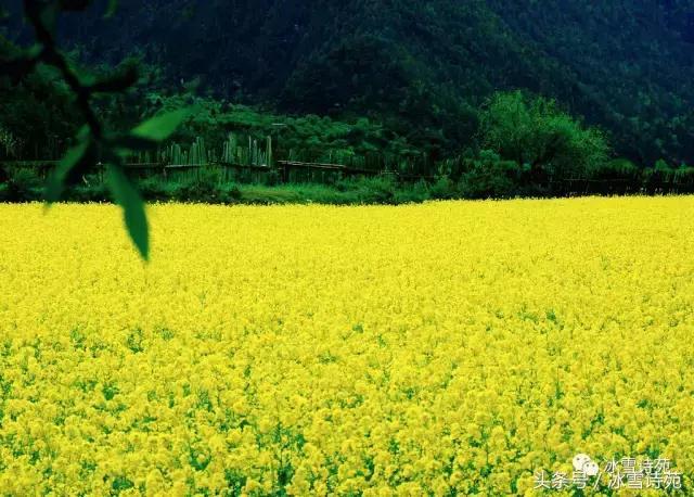 梅苑題畫 油菜花︱燦爛韶光斜陌外。年年好色到家門 - 每日頭條