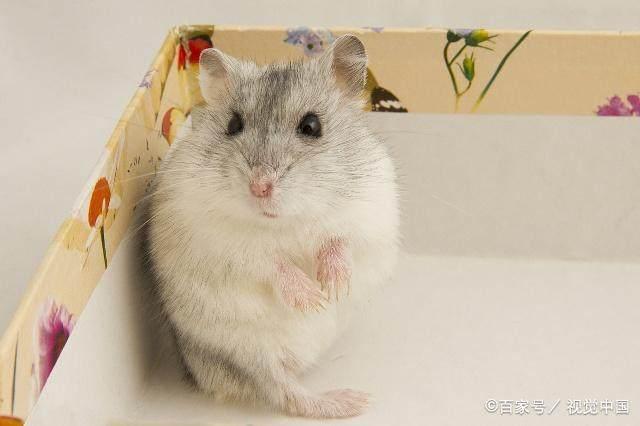 關於布丁鼠,你有多少了解?該怎樣照顧呢? - 每日頭條