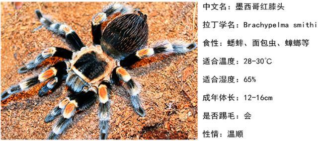 毛茸茸的爬蟲,潮人新寵,那些可以當寵物的炫酷捕鳥蛛 - 每日頭條