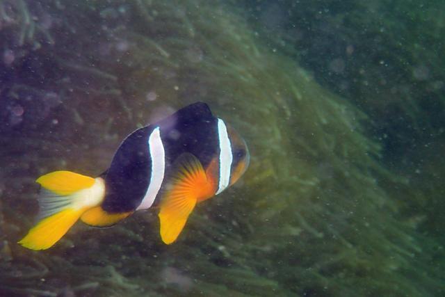 雀鯛科魚類(7)-小丑(7):雙帶小丑 - 每日頭條