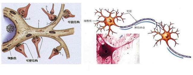 大腦模塊化功能:認識與認知的神經機制 - 每日頭條