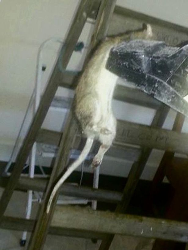 Giant Rat in Kingswood