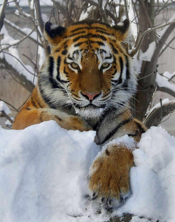I really love your tiger feet Siberian tigers dancing pawtopaw  Mirror Online
