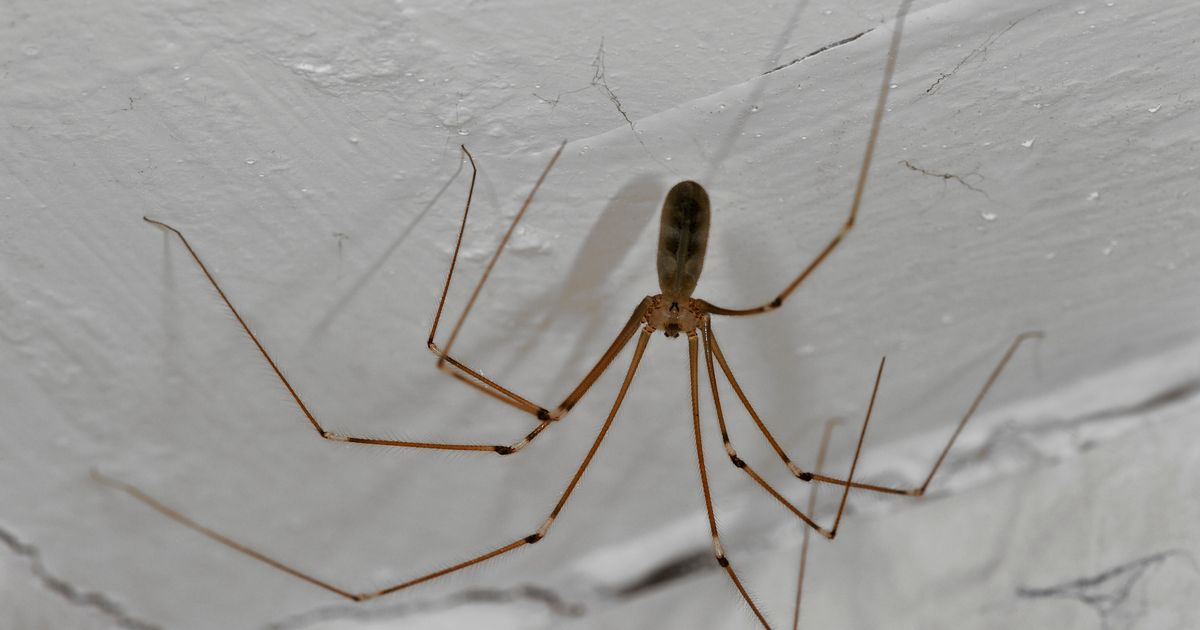 Cannibal Spiders Which Feast On Flesh Invading UK Homes