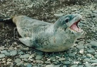 Sea Leopard or Leopard Seal. Photo taken by Papa Lima Whiskey, http://en.wikipedia.org/wiki/File:Hydrurga_leptonyx_edit1.jpg