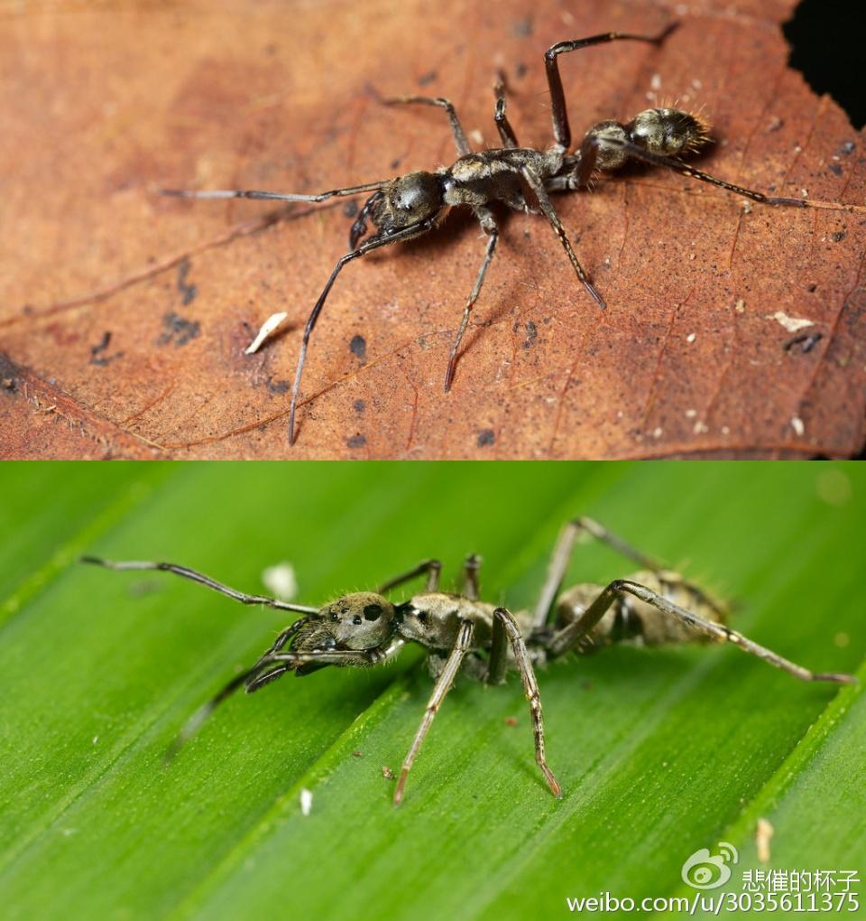 蛛絲「螞」跡——擬蟻、蟻客與食蟻 - 壹讀