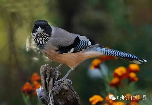 【rlyl物種說】今日--黑頭松鴉(Black-headed Jay) - 壹讀