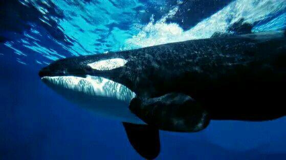 現在生物戰鬥力排行,是食肉動物,機會與威脅。  它們堪稱海上霸王,鯊魚有天敵嗎? - 每日頭條