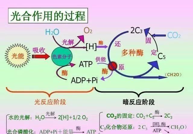 問答| 光合作用的兩個階段之間有什麼聯繫嗎? - 壹讀