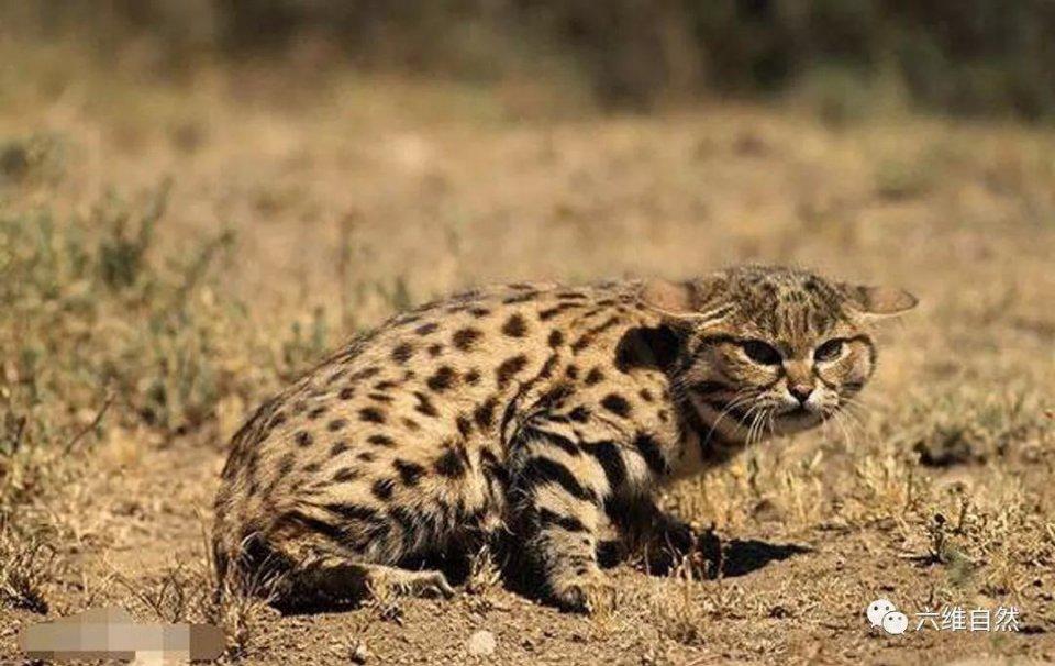傳說能獵殺成年長頸鹿的第二小的貓。黑足貓殺傷力真的那麼大? - 壹讀