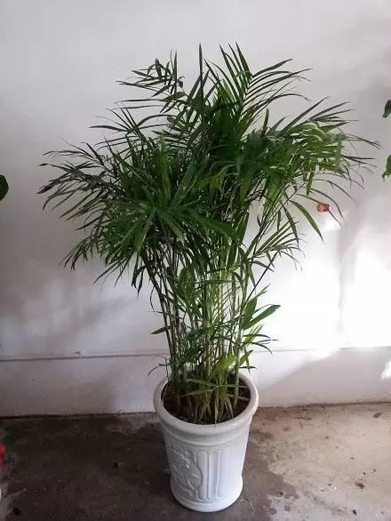 散尾葵、鳳尾竹、富貴椰子和夏威夷椰子。怎麼分辨呀 - 壹讀