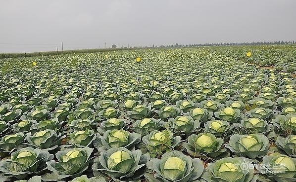 甘藍菜圖片欣賞 甘藍菜的做法 - 壹讀