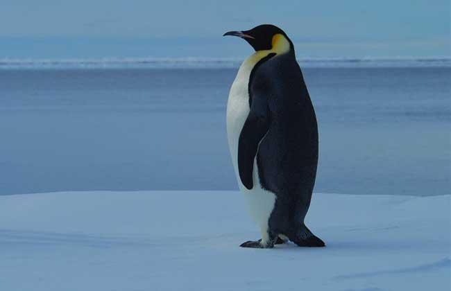 企鵝是鳥類嗎? - 壹讀