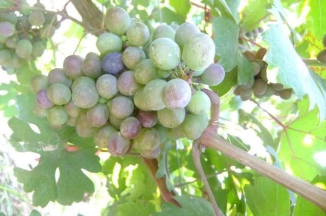 葡萄生長過程中的轉色期究竟是什麼 - 壹讀