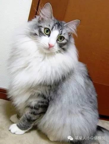 世界最大貓+大型品種貓介紹 - 壹讀