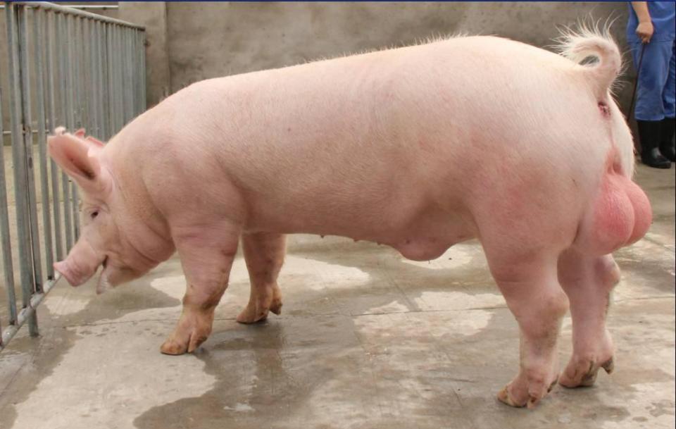 長白、杜洛克、大約克、皮特蘭、漢普夏豬。選擇哪種配種好? - 壹讀