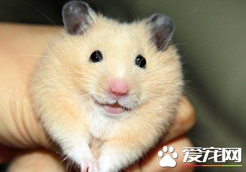 三線倉鼠怎麼樣 是比較好養的寵物之一 - 壹讀