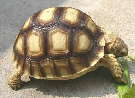 教你分辨打了激素的蘇卡達象龜 - 壹讀