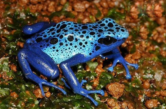 揭秘:鈷藍箭毒蛙,身上的顏色五彩斑斕(一碰即死) - 壹讀