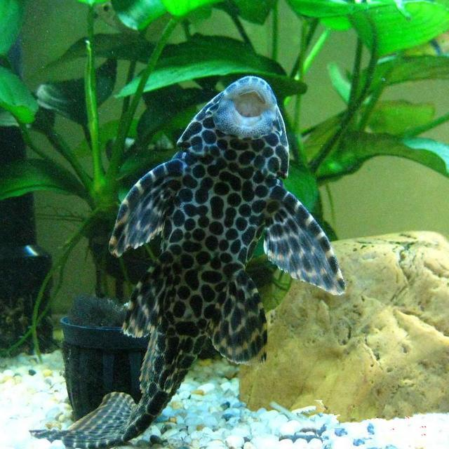 水族裏清潔能力超強的清潔魚,你知道幾種? - 壹讀