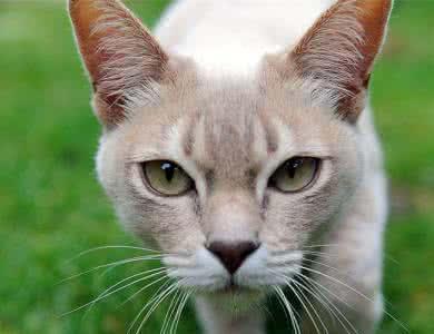 地球上六大最貴的貓,偷竊第二種會判死刑,第一售價高達兩萬美元 - 壹讀