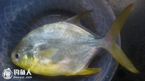 海釣鯧魚的實用釣法技巧 - 壹讀