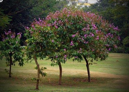 紫薇樹(百日紅)的栽培技術與注意事項 - 壹讀