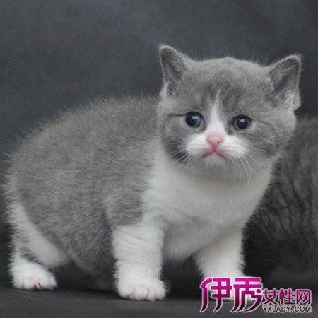 英國短毛貓圖片大全 其種類和餵養秘訣須知 - 壹讀
