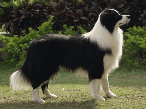 如何正確飼養。智商排名第一的邊境牧羊犬?寵物醫生告訴你答案 - 壹讀