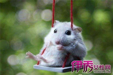 怎麼辨別倉鼠發情 如何判斷倉鼠是否交配成功? - 壹讀