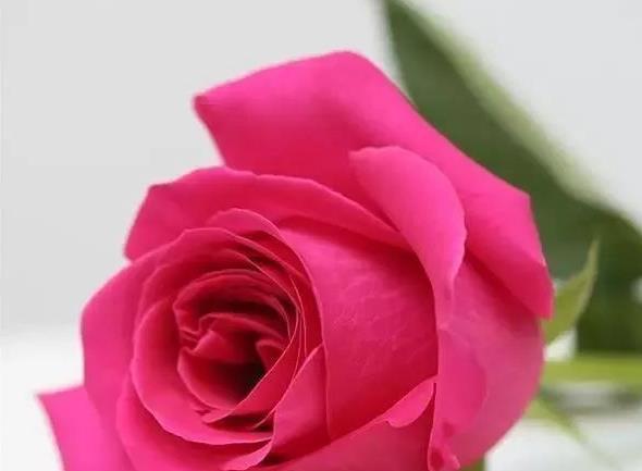 冬天養玫瑰,所以在室內時,飄香四溢 - 壹讀