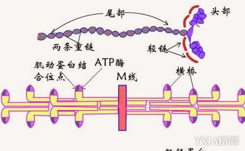 肌肉收縮偶聯原理介紹 一個鈣離子竟然能產生整個肌纖維收縮 - 壹讀