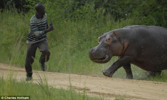 乌干达默奇森瀑布国家公园上演了惊心动魄的一幕