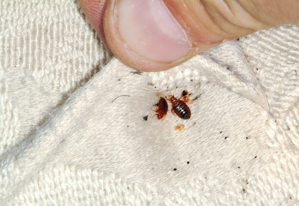 Are You Sleeping with Bedbugs?, – Sather Health