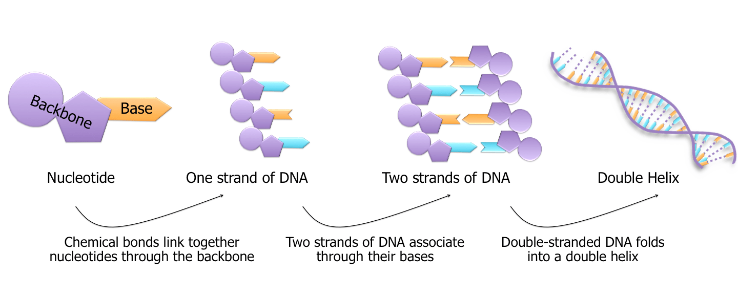 hight resolution of each nucleotide consists of two parts a backbone and a base the nucleotides are strung together through their backbones and two of these strands wind