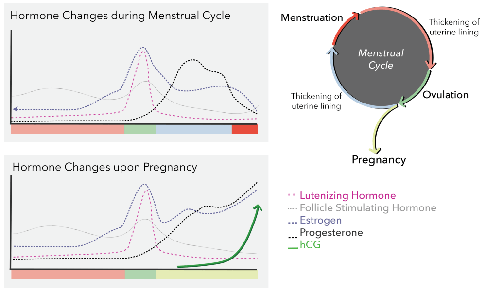 medium resolution of what s so special about pregnant women s urine