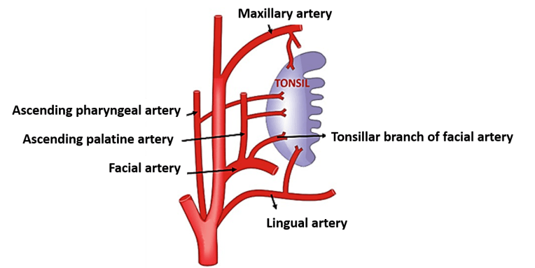Palatine Tonsil - Relations Blood supply Waldyer's ring