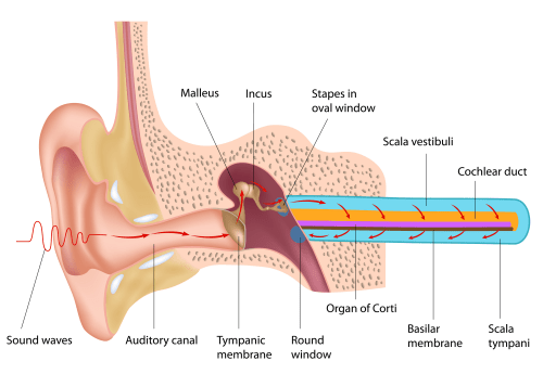 small resolution of diagram of ear