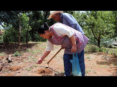 Atole de Elote y Mi viejo Siembra Milpa De Mi Rancho A Tu Cocina