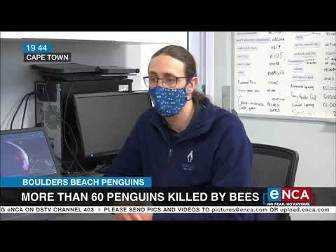 More than 60 penguins killed by bees